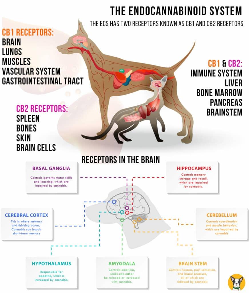 Dog and Cat Endocannabinoid System