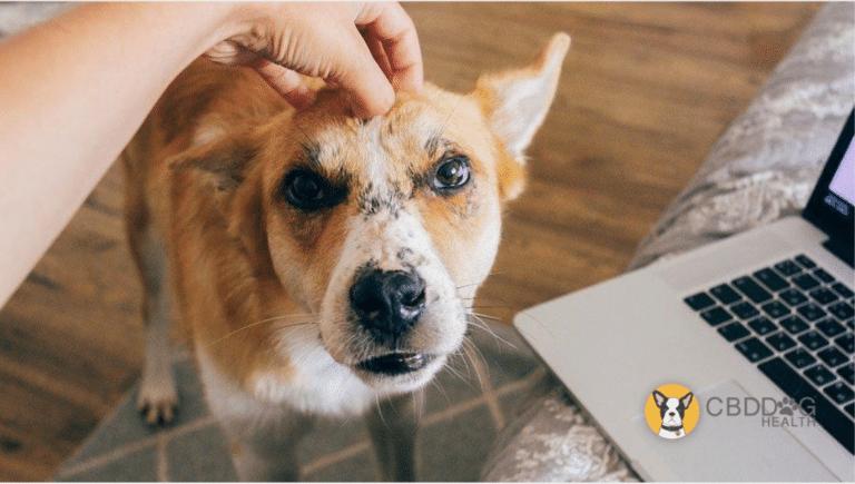 CBD for pets with alopecia