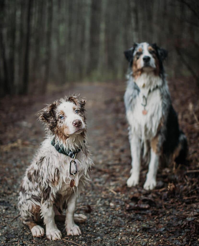 CBD DOG HEALTH CALM Australian Shepherds