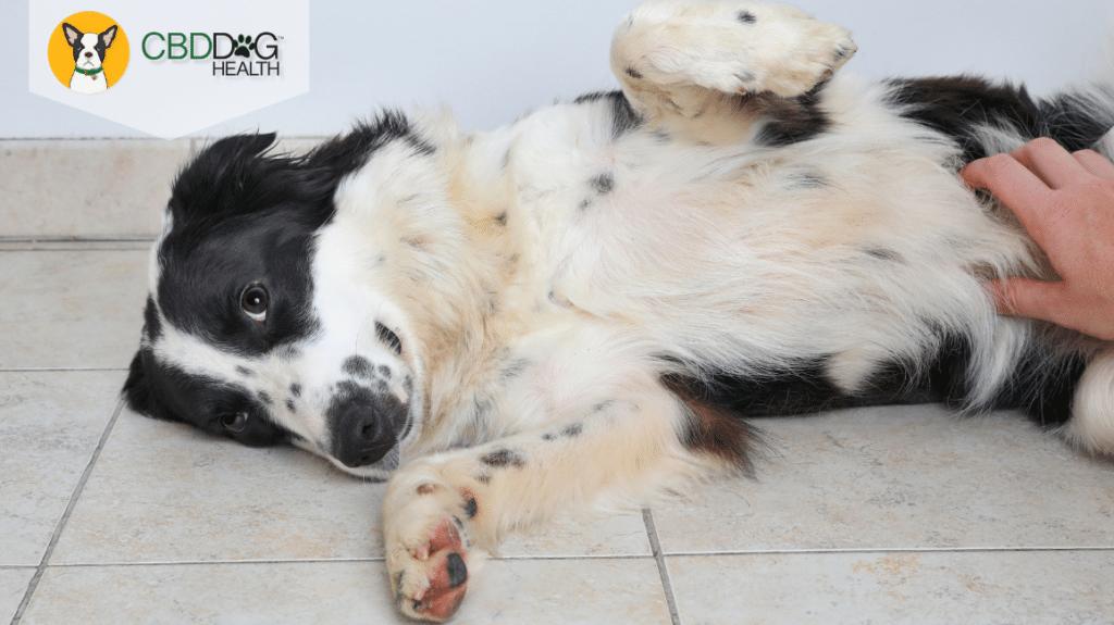Inflammatory Bowel Disease In Pets