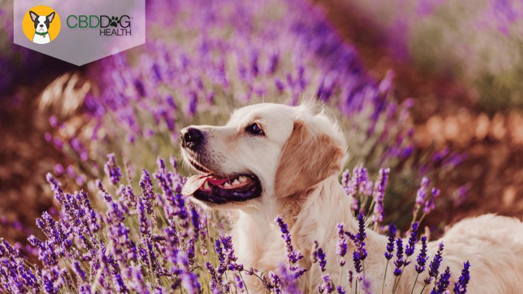 Is Lavender Essential Oil Safe For Pets?