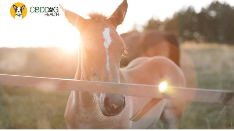 CBD For Cribbing in Horses