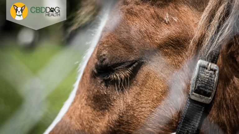 CBD For Cushing's Disease in Horses
